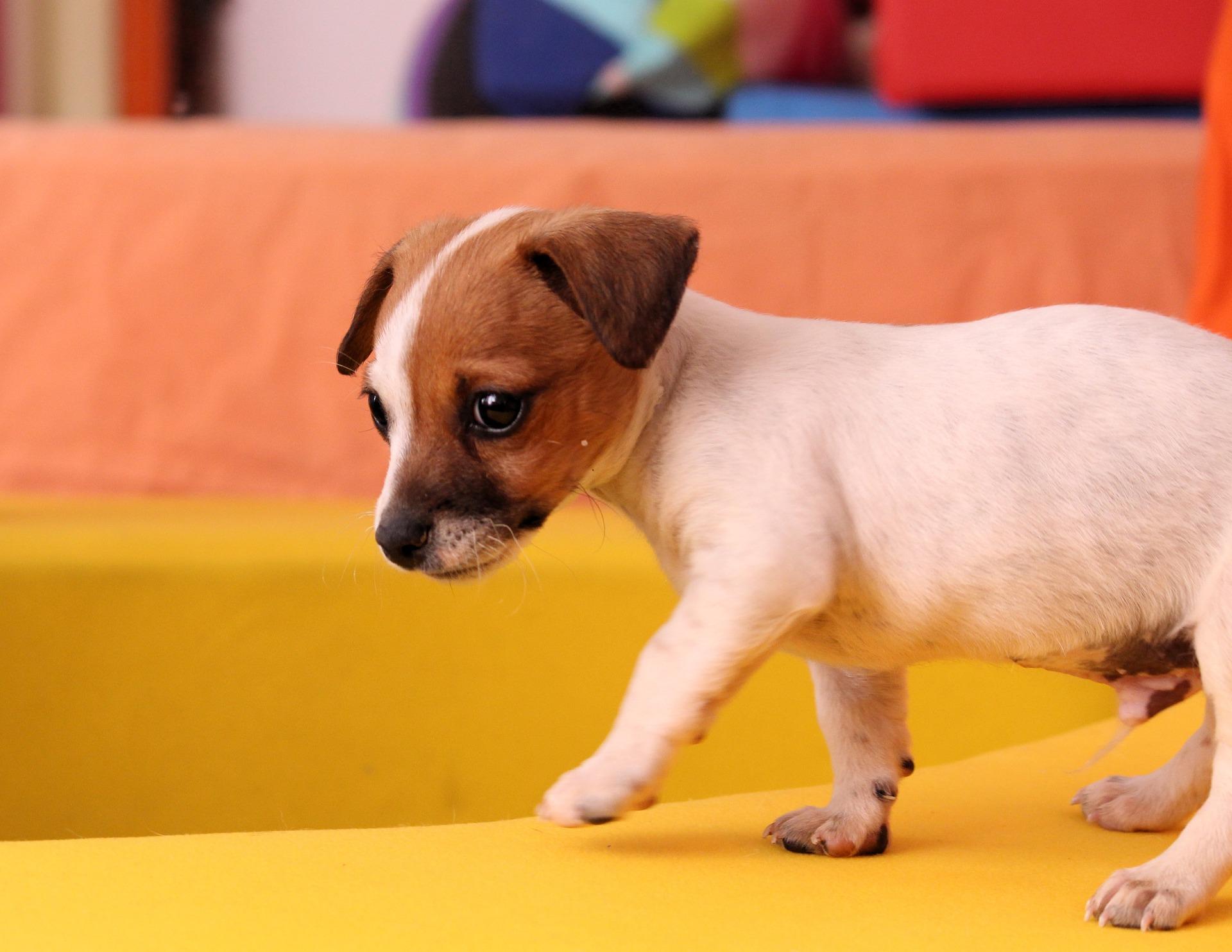 cani più veloci del mondo velocità massima raggiunte