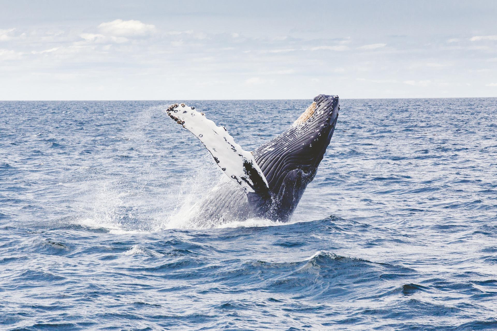 mammiferi più grandi al mondo balenottera azzurro